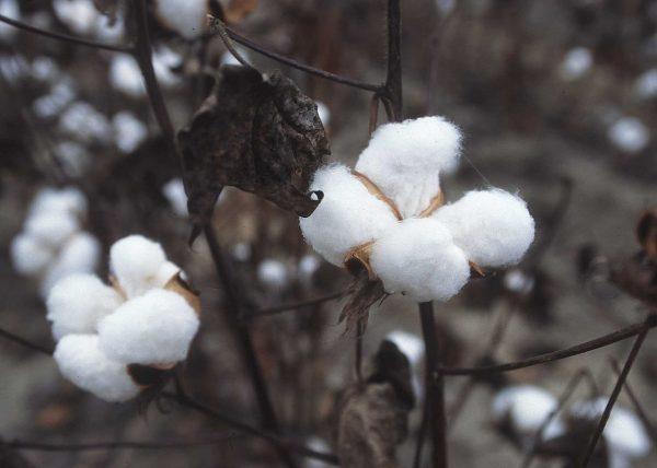 sợi bông cotton
